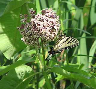 Swallowtail in july ii