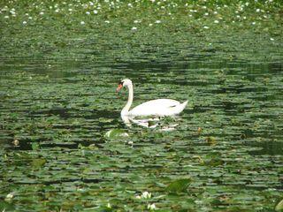 Swan in green