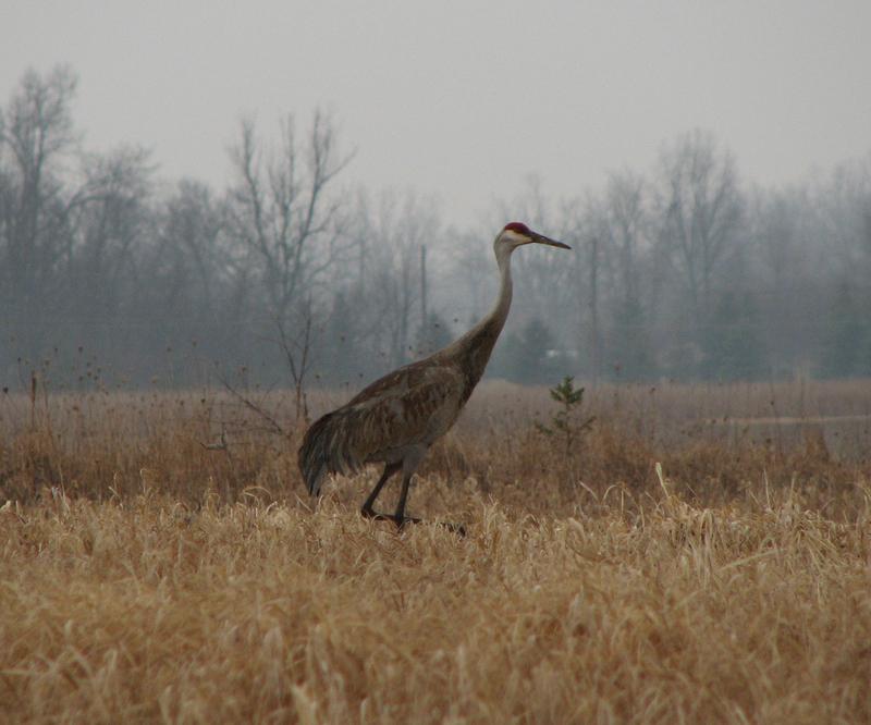 Sandhill_crane