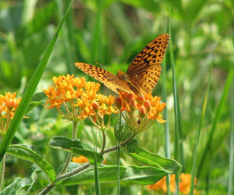 Orange_butterfly_ii