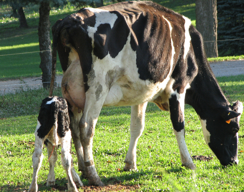 Cow_and_baby