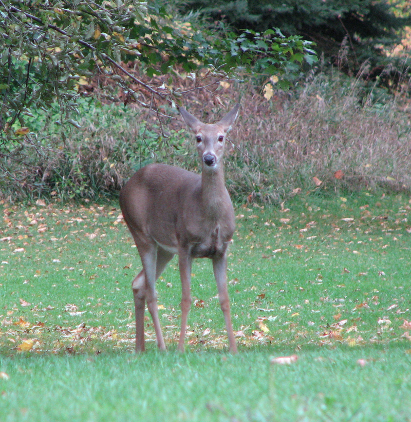 Deer_looking_at_me
